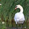 June 26 2017 - Mute Swan