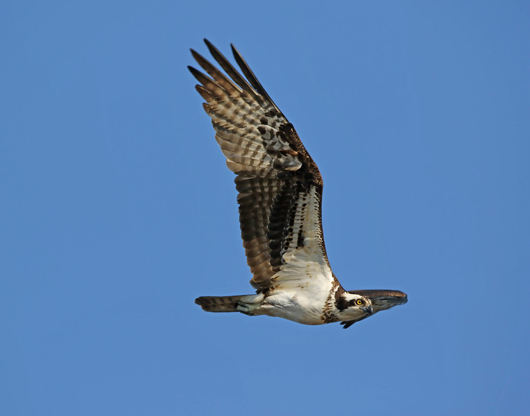June 7 2017 - Osprey