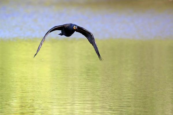 June 15 2017 - Cormorant