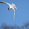 June 12 2017 - Tern Dive