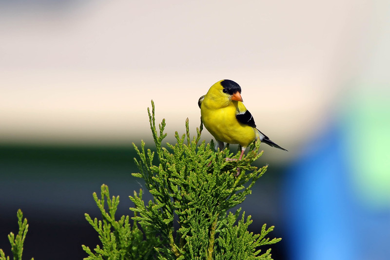 June 17 2017 - Goldfinch
