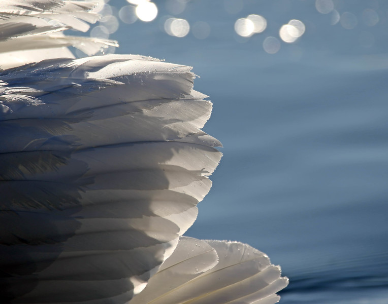 March 31 2017 - Swan Wings