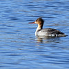 March 22 2017 - Merganser