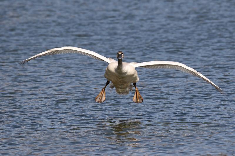 March 14 2017 - Swan Landing
