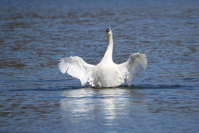 March 27 2017 - Swan