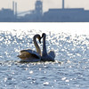 March 9 2017 - Industrialized Swans