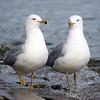 March 11 2017 - Gulls