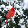 March 15 2017 - Cardinal
