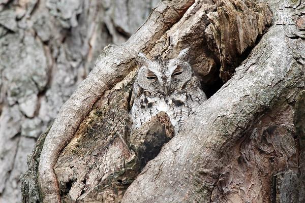 March 2 2017 - Screech Owl
