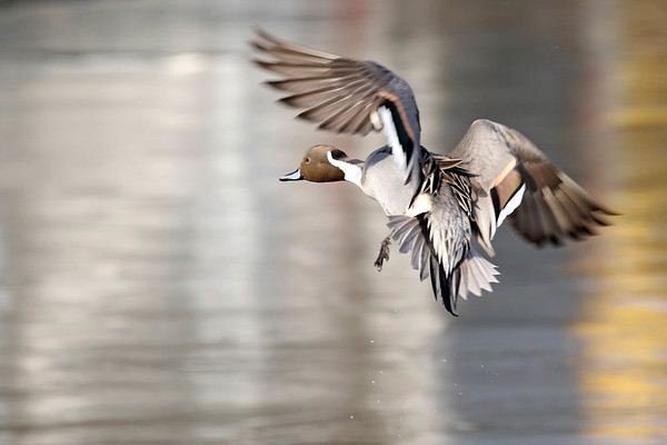 March 16 2017 - Northern Pintail