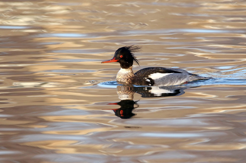 March 24 2017 - Merganser