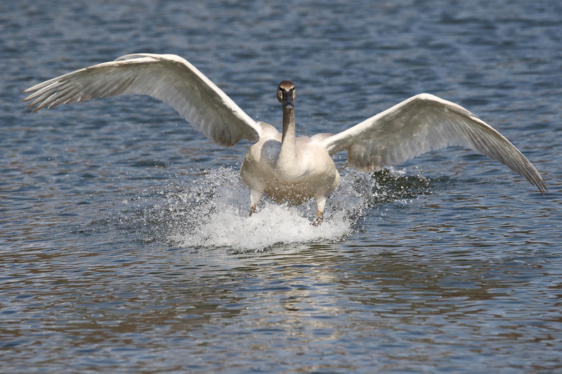 March 3 2017 - Trumpeter Swan