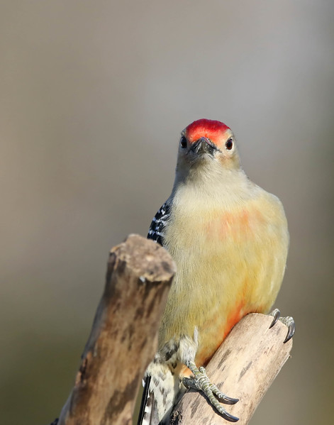 March 29 2017 - Red-Bellied Woodpecker