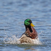 March 23 2017 - Mallard Splash