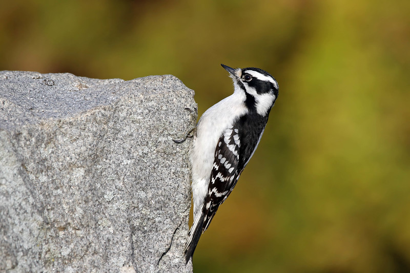 March 4 2017 - Downy Woodpecker