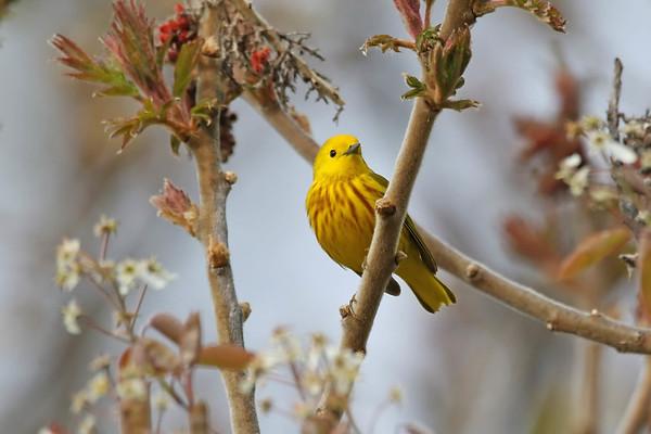 May 12 2017 - Yellow Warbler