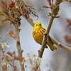 May 12 2017 - Yellow Warbler
