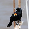 May 4 2017 - Red-Winged Blackbird
