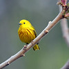May 30 2017 - Yellow Warbler