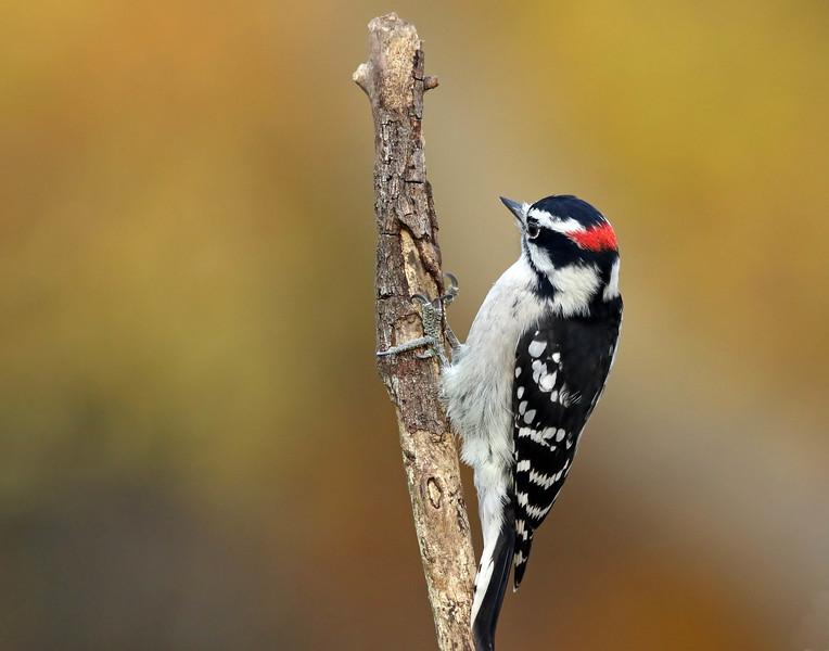 May 8 2017 - Downy Woodpecker