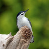 May 1 2017 - Nuthatch