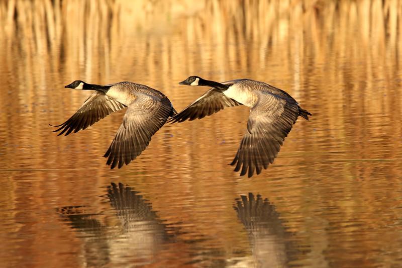 May 5 2017 - Geese