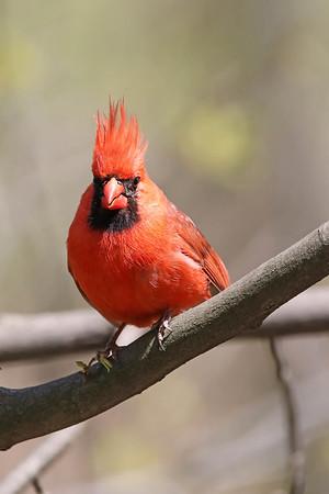 May 29 2017 - Cardinal