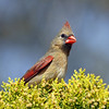May 2 2017 - Female Cardinal