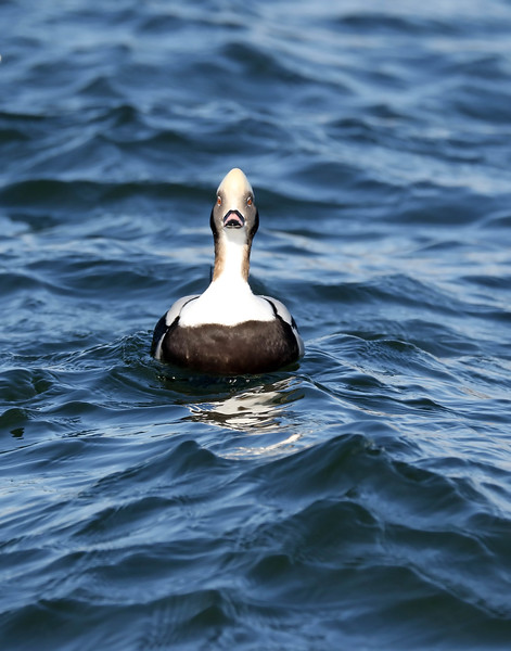 November 26 2017 - Long Tailed Duck