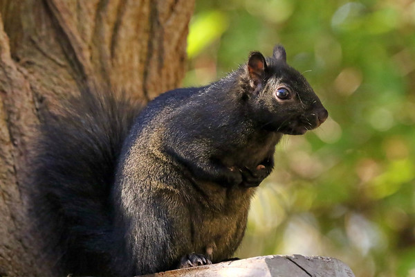 November 25 2017 - Black Squirrel