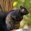 November 25 2017 - Black Squirrel