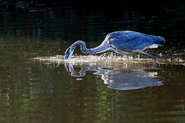 November 7 2017 - Great Blue Heron