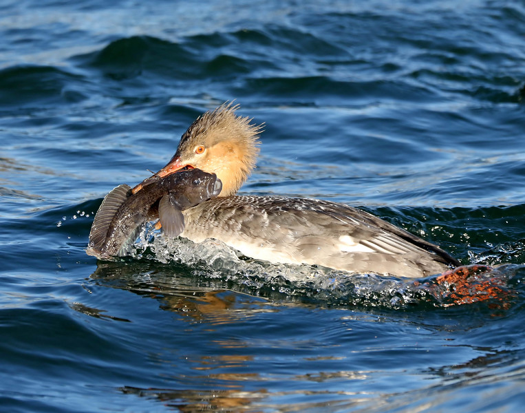 November 30 2017 - Merganser and Goby