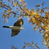 November 18 2017 - Coopers Hawk