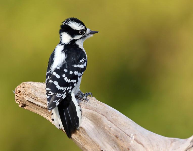 November 20 2017 - Downy Woodpecker