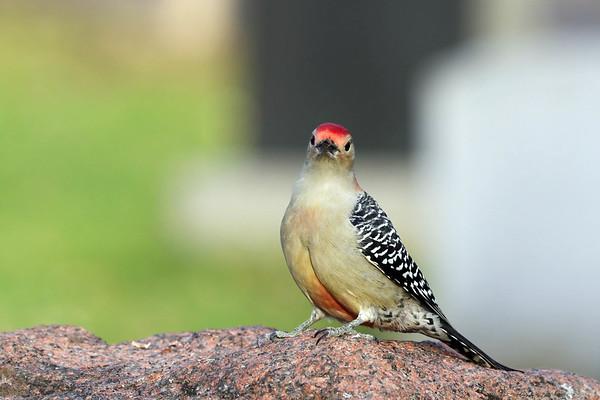 November 10 2017 - Red-Bellied Woodpecker