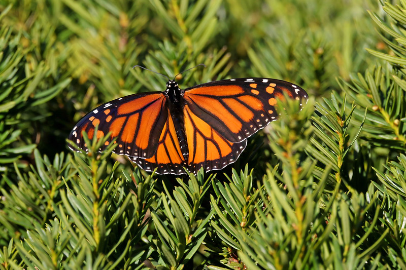 November 2 2017 - Monarch Butterfly