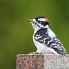 November 15 2017 - Downy Woodpecker