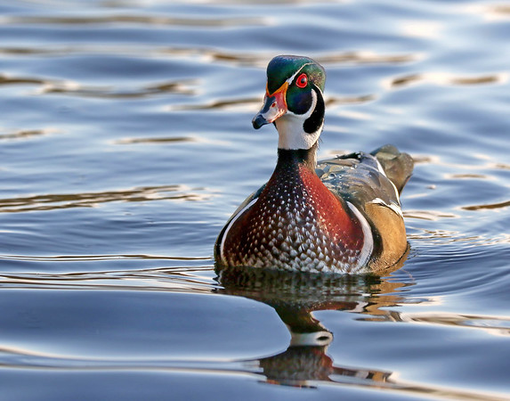 November 1 2017 - Wood Duck