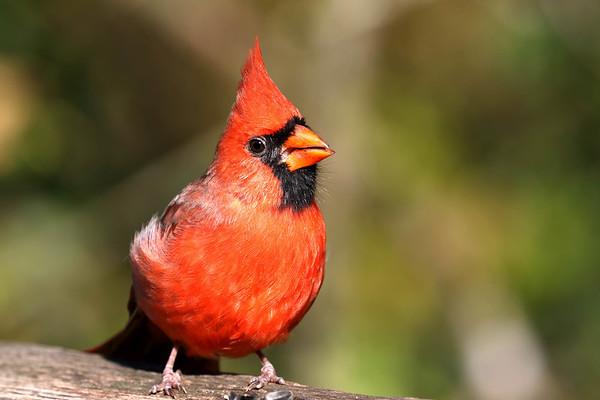 November 4 2017- Cardinal