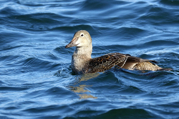 November 28 2017 - Female King Eider