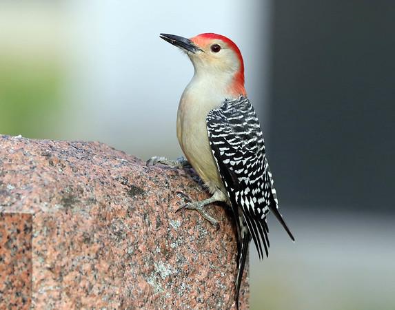 November 17 2017 - Red-Bellied Woodpecker