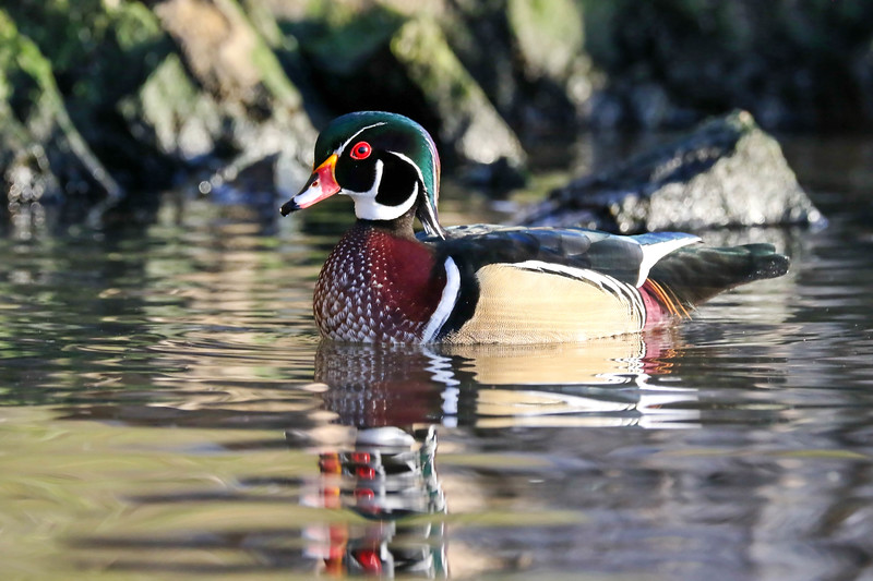 October 28 2017 - Wood Duck