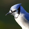 October 23 2017 - Bluejay