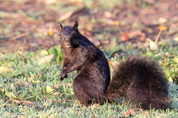 October 25 2017 - Squirrel