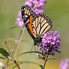 October 26 2017 - Monarch Butterfly