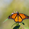 October 22 2017 - Monarch Butterfly