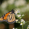 October 5 2017 - Monarch Butterfly