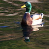 October 24 2017 - Mallard Duck