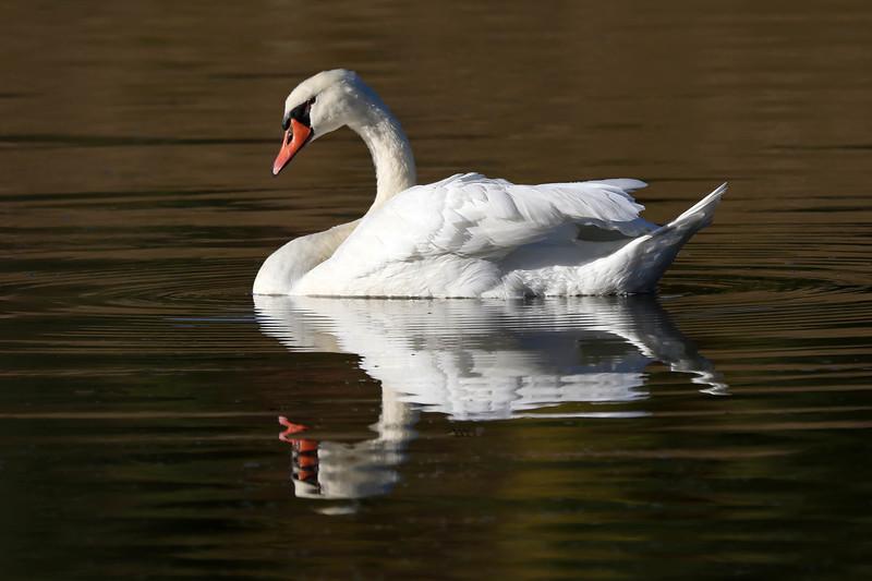 October 17 2017 - Mute Swan